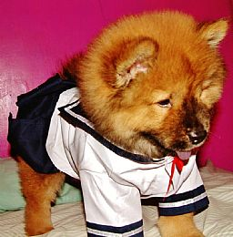 Chow Chow Pictures 644