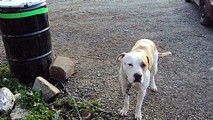 American Staffordshire Terrier Pictures 645