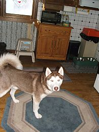 Siberian Husky Pictures 658