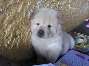 Chow Chow Pictures 664