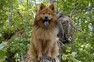 Chow Chow Pictures 671