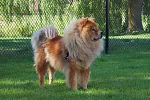 Chow Chow Pictures 678