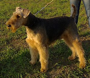 Airedale Terrier Pictures 683