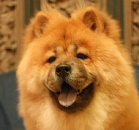 Chow Chow Pictures 694