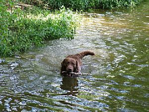 Chesapeake Bay Retriever Pictures 702