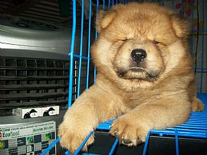 Chow Chow Pictures 718