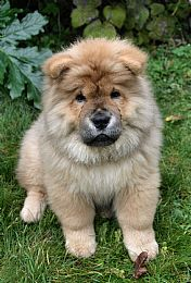 Chow Chow Pictures 729