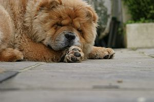 Chow Chow Pictures 730