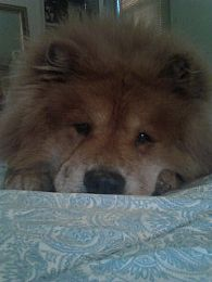 Chow Chow Pictures 735