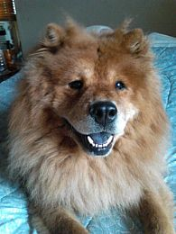 Chow Chow Pictures 736