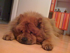 Chow Chow Pictures 741