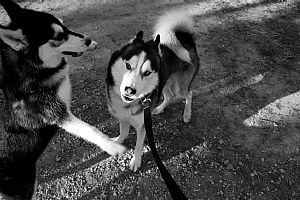 Siberian Husky Pictures 793