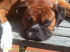 Boxer Pictures 820