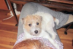 Jack Russell Terrier Pictures 828