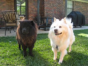 Chow Chow Pictures 852