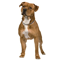 American Staffordshire Terrier Picture