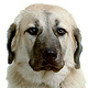 Anatolian Shepherd Dog Photo