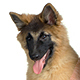 Belgian Tervuren Photo