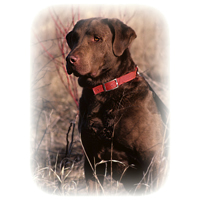 Chesapeake Bay Retriever Picture