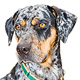 Catahoula Leopard Dog Photo