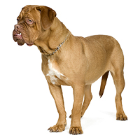 Dogue de Bordeaux Picture