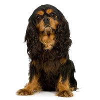 English Toy Spaniel Picture