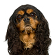 English Toy Spaniel Photo