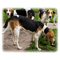 Foxhound - English Picture