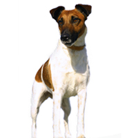 Fox Terrier - Smooth Picture