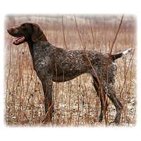 German Shorthaired Pointer Picture