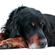 Gordon Setter Photo