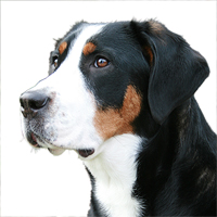 Greater Swiss Mountain Dog Picture