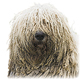 Komondor Photo