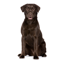 Labrador Retriever Picture