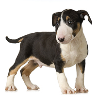 Miniature Bull Terrier Picture