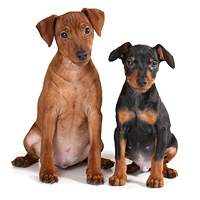 Miniature Pinscher Picture