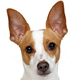 Rat Terrier Photo