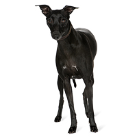Whippet Picture