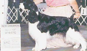 Soaring Springer's /Puppies  /occaisonal Rescue's