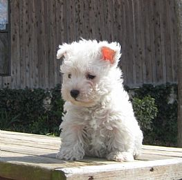 Strawberry River Westies