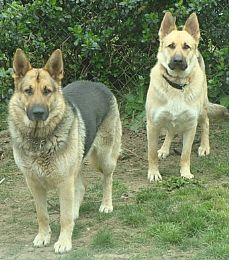 Salhaus Old Fashioned German Shepherds