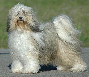 Tibetan Terrier Puppies on Tibetan Terrier Breeders And Tibetan Terriers For Sale