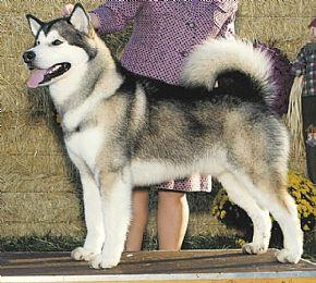 Alaskan Malamute Breeder On Qualitydogs Com