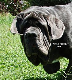 A Wild Child - AKC BREEDER OF MERIT