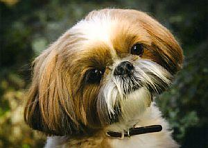 Japanese Chin Breeder On Qualitydogscom
