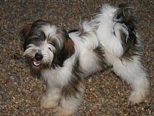 Tibetan Terrier Breeder On Qualitydogs