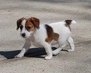 Jack Russell Terrier Breeders and Jack Russell Terriers For Sale