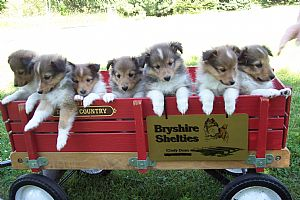 bryshire shelties