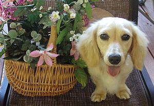 Dachshund Breeders and Dachshunds For Sale