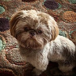 Shih Tzu Breeders And Shih Tzus For Sale